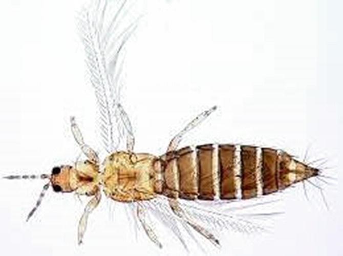 Pests of Medicinal and Aromatic Plants | SpringerLink