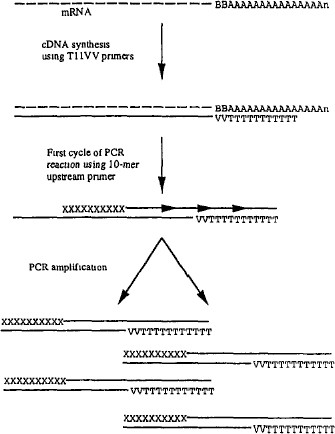 steps involved in gene cloning technique pdf
