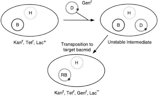 Generation of Recombinant Baculovirus DNA in E coli Using a