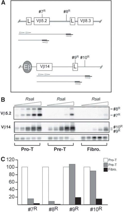 Restriction Endonuclease Accessibility as a Determinant of
