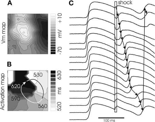 Optical mapping of shock induced arrhythmogenesis in the rabbit open image in new window ccuart Images
