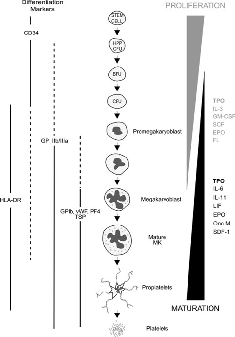 Megakaryocytic maturation - 2. |Megakaryocyte Maturation