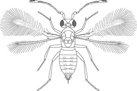 Anagrus Fairyflies (Hymenoptera: Mymaridae), Figure 46