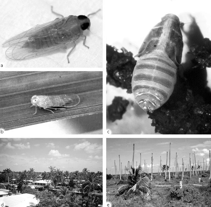 Myndus Crudus Van Duzee (Hemiptera: Cixiidae), Figure 115