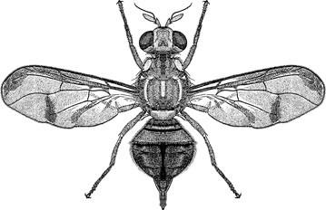 Melon Fly, Bactrocera cucurbitae (Coquillett) (Diptera: Tephritidae), Figure 26