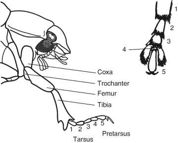 Pretarsus, Figure 111