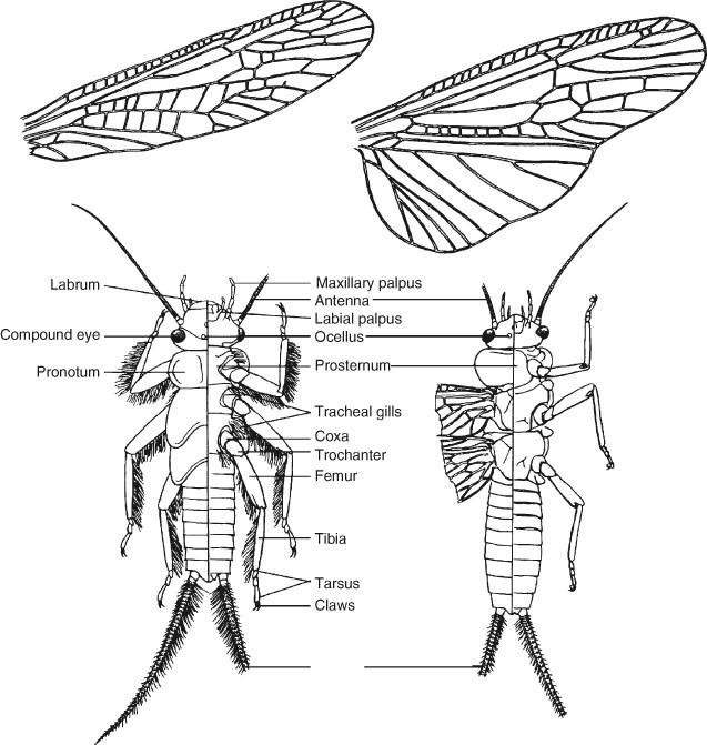 Stoneflies Plecoptera
