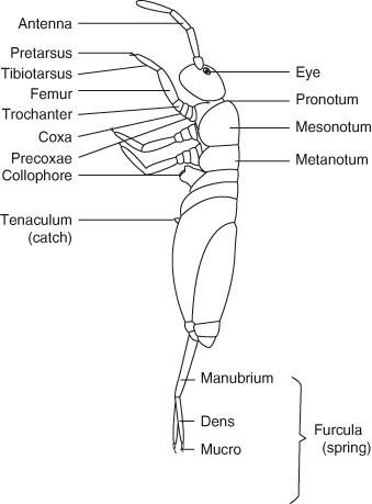 Furcula, Figure 102