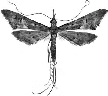 False Plume Moths (Lepidoptera: Tineodidae), Figure 12