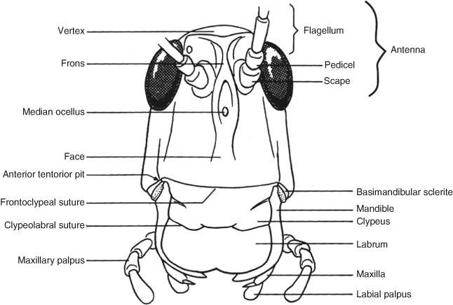 Flagellum, Figure 52