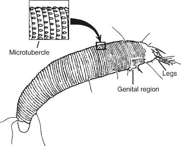 Four-Legged Mites (Eriophyoidea or Tetrapodili), Figure 84