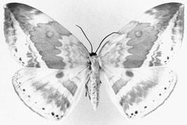 Giant Hooktip Moths (Lepidoptera: Cyclidiidae), Figure 20