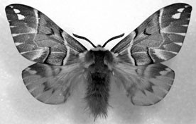 Glory Moths (Lepidoptera: Endromidae), Figure 26