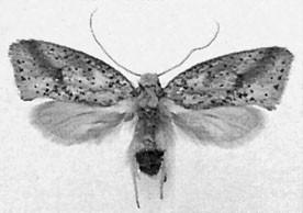 Gondwanaland Moths (Lepidoptera: Palaephatidae), Figure 29
