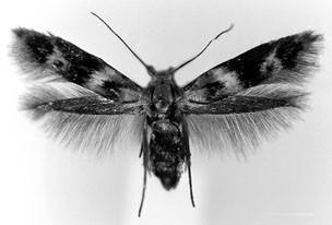 Grass Miner Moths (Lepidoptera: Elachistidae), Figure 49