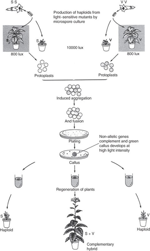 Formation of Somatic Cell Hybrids