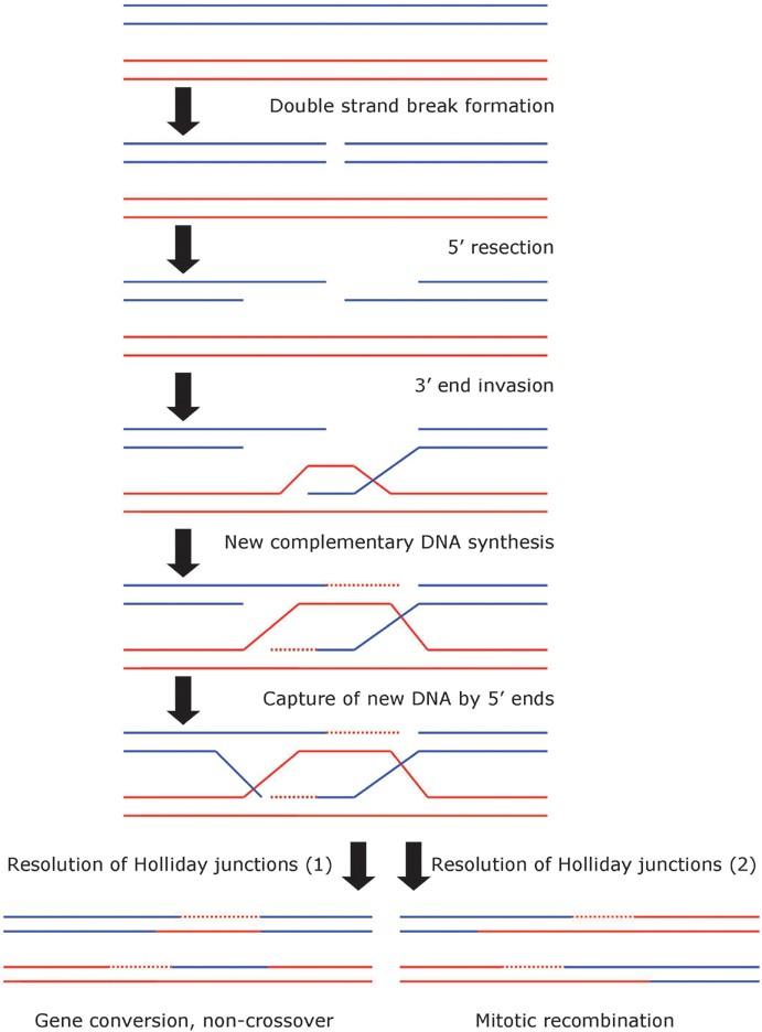 Mitotic Recombination | SpringerLink