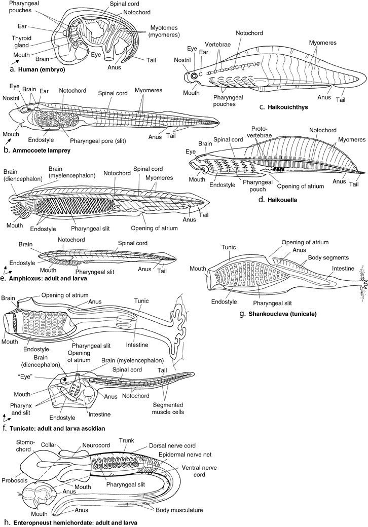 Evolution And Phylogeny Of Chordates | SpringerLink