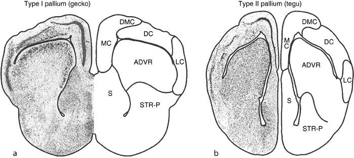 Evolution Of The Pallium In Birds And Reptiles Springerlink