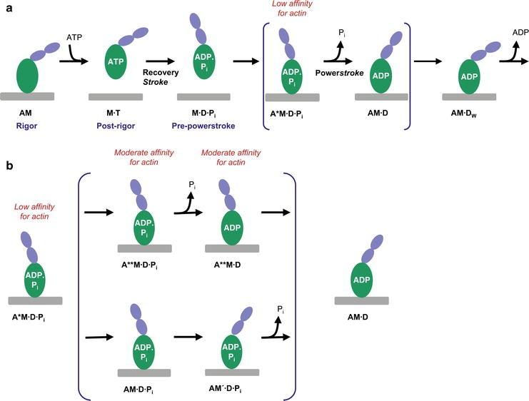 Myosin Work and Motility: Mechanism   SpringerLink