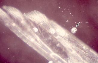 Oodinium, Fig. 1