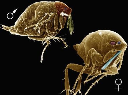 Sand Flea, Fig. 1
