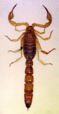 Scorpions, Fig. 1
