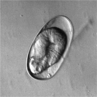 Strongyloides papillosus, Fig. 1