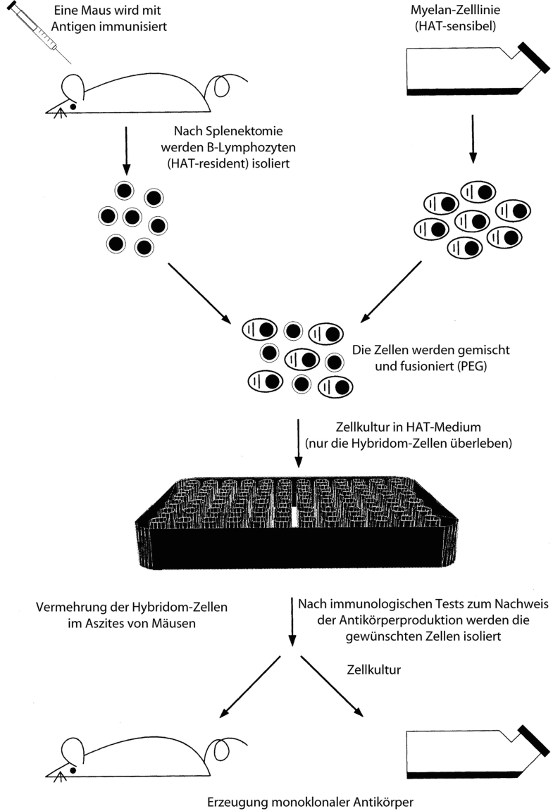 Antikörper, monoklonale Erzeugung, Abb. 1