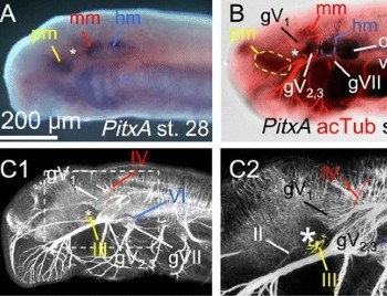 Comparative morphology of extra-ocular muscles in the lamprey and gnathostomes