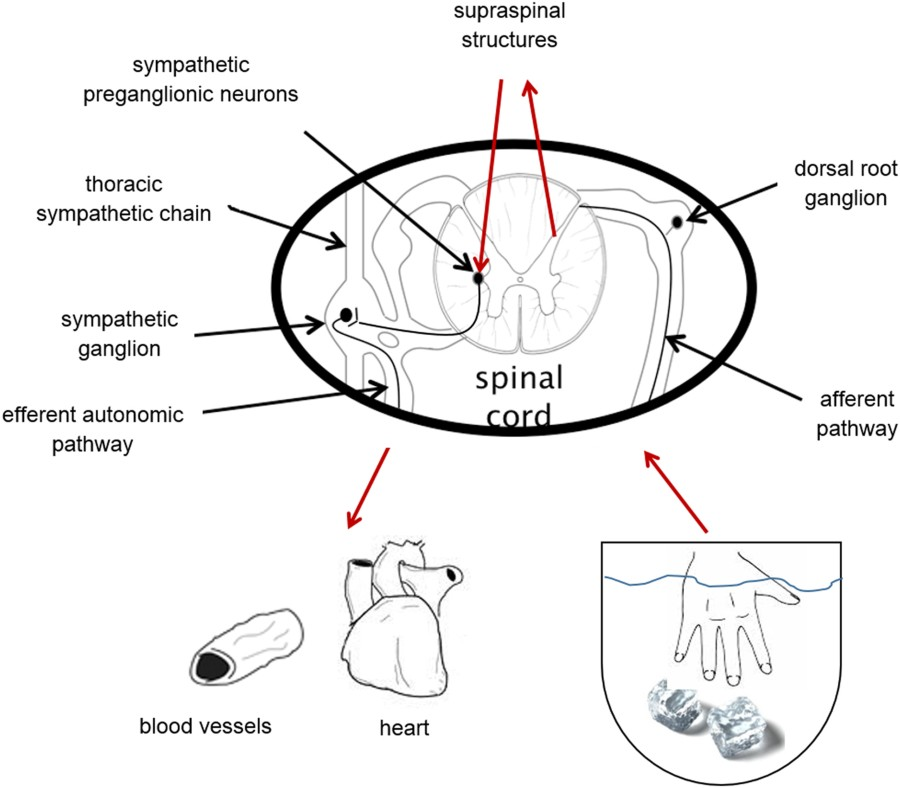 Figure 1 spinal cord schematic drawing of anatomic pathways involved in a hand cpt response stimulation of afferent nerves will transmit via dorsal root ganglion into the ccuart Images