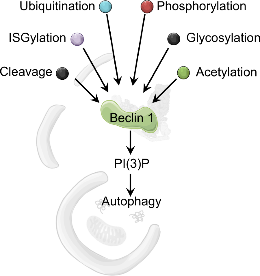Post-translational modifications of Beclin 1 provide multiple