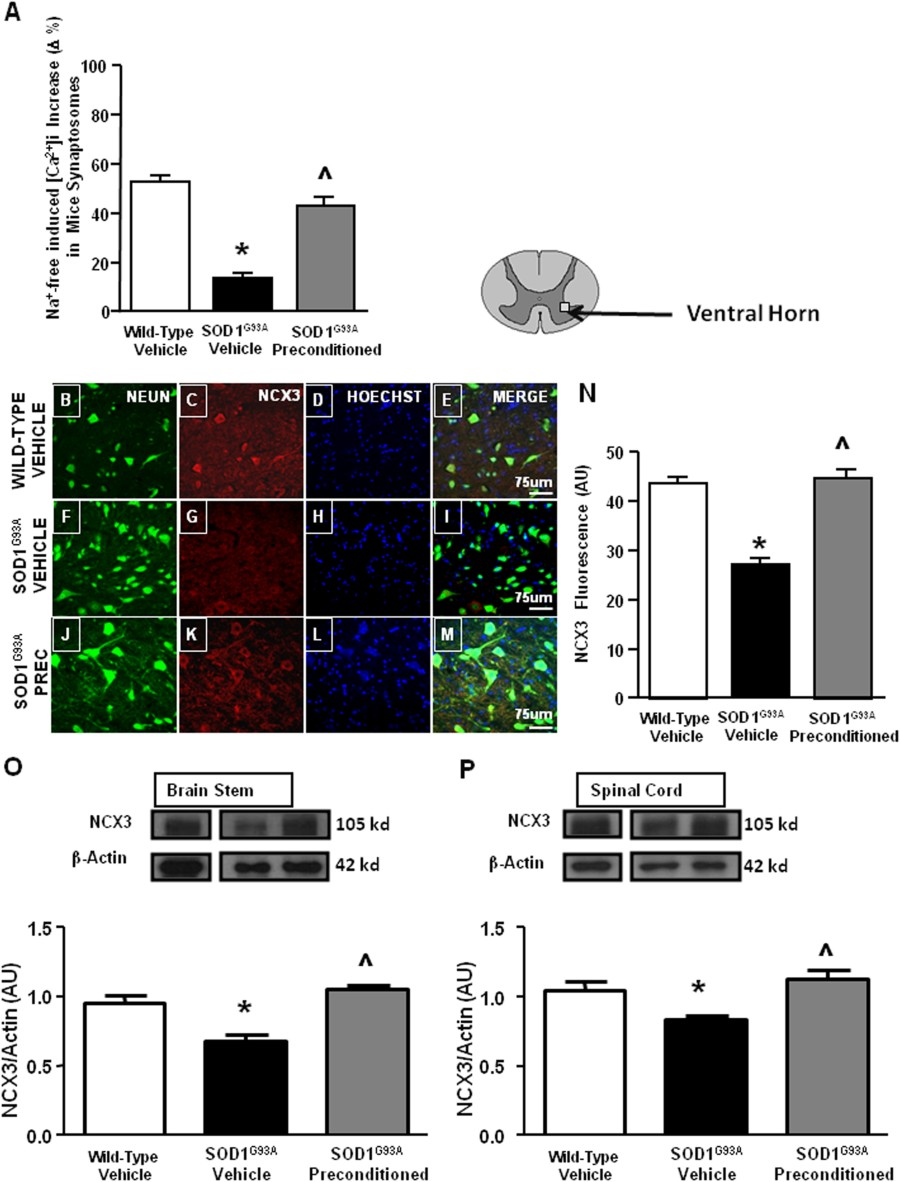 Fig 2 Ncx3 Immunolocalization Expression And Quantification Of Computer Mouse Diagram Schematic Image Ncx Activity As Ca2 I Increase Induced By Na Free Perfusion In Fura Am Loaded Spinal Cord Synaptosomes Adult Wild Type Mice