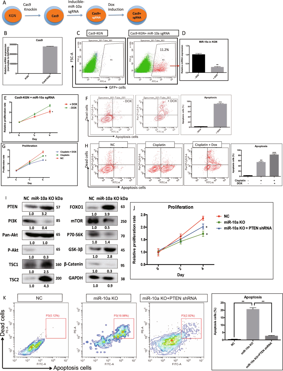 Fig 6 Knockout Mir 10a In Cancer Gc By Crispr Cas9 Cell Death Diagram Showing A Schematic The Strategy To Construct Dox Inducible Kgn Cells Bd Validation Of System