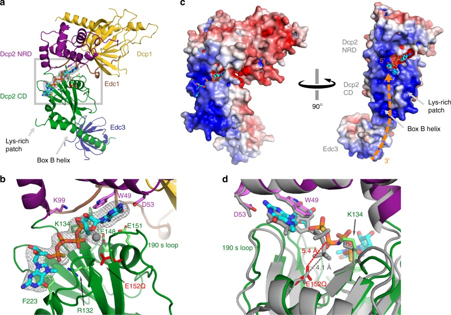 Structure of the activated Edc1-Dcp1-Dcp2-Edc3 mRNA decapping complex with substrate analog poised for catalysis
