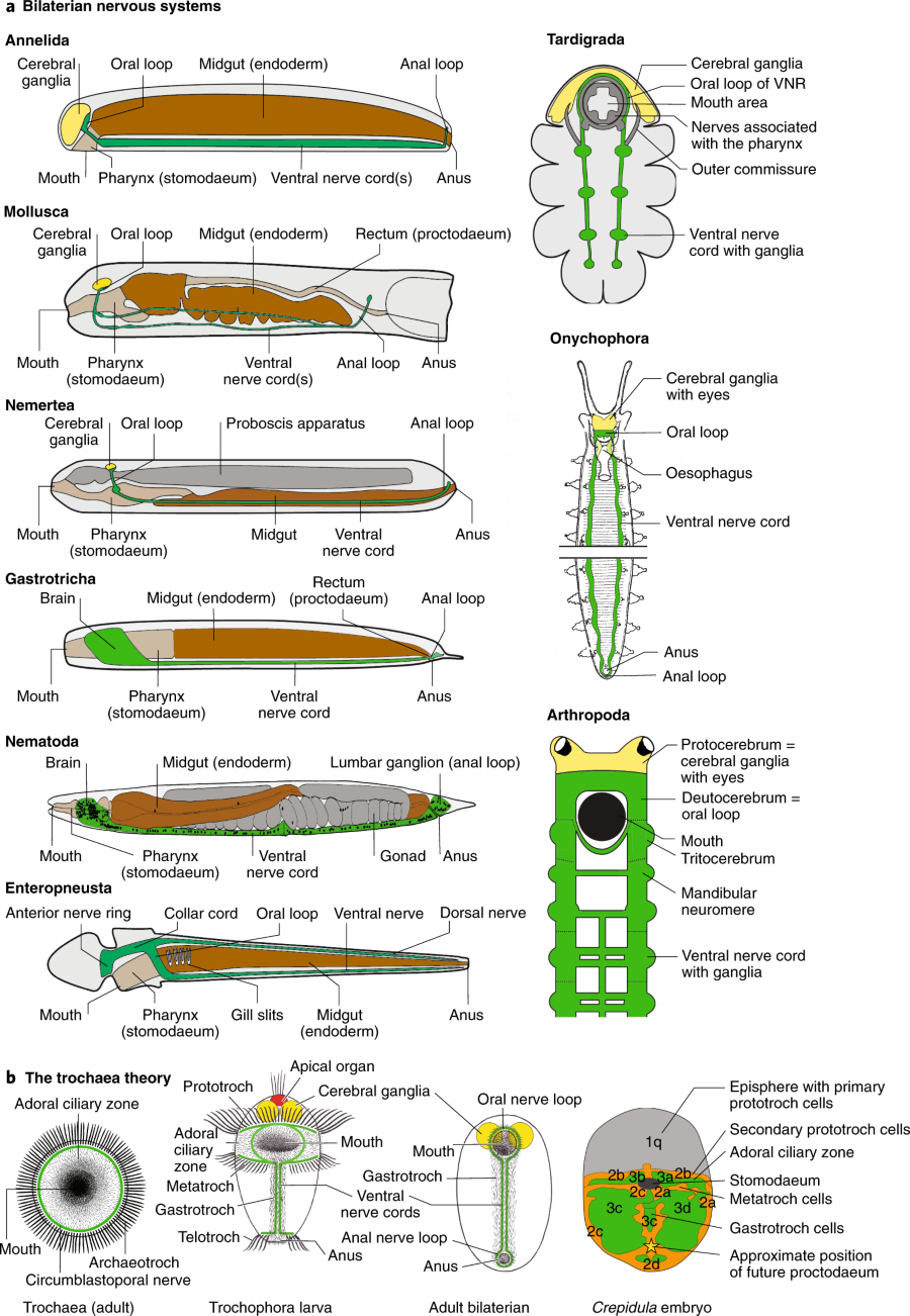 Fig 6 Morphology Of The Central Nervous System In Bilaterians And