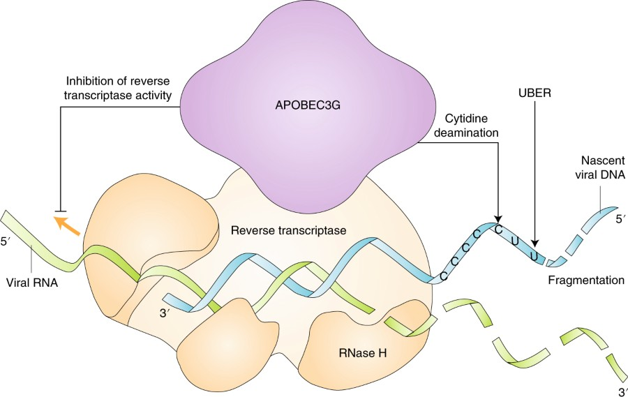 Fig 1 mechanisms of apobec3g antiviral action nature microbiology hiv 1 reverse transcriptase traverses the viral rna template green synthesizing a nascent minus strand viral dna blue while degrading the viral rna maxwellsz