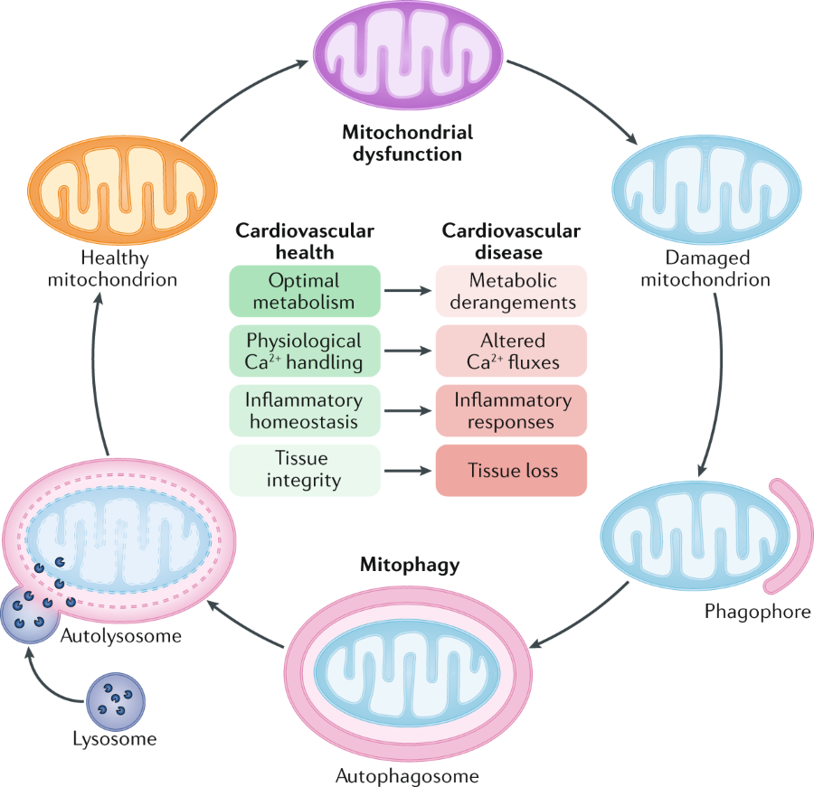 Fig 1 Contribution Of Mitochondrial Dysfunction To Cardiovascular