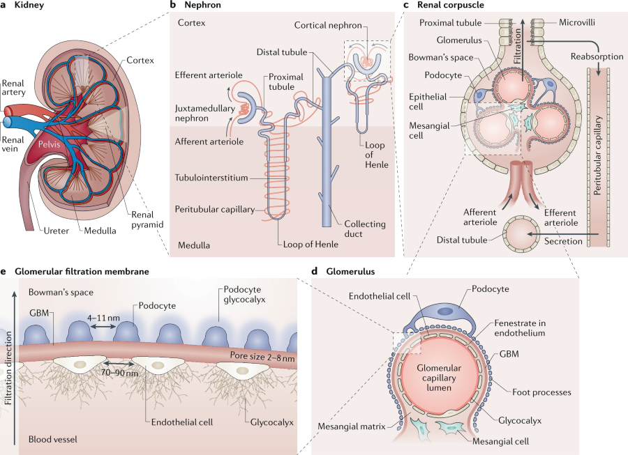Fig 1 Kidney Anatomy Nature Reviews Materials