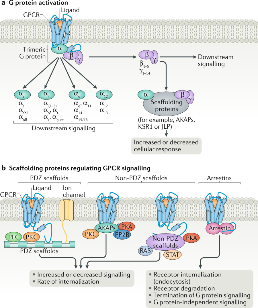 Fig. 1: Schematic illustration of GPCR signalling. | Nature Reviews ...