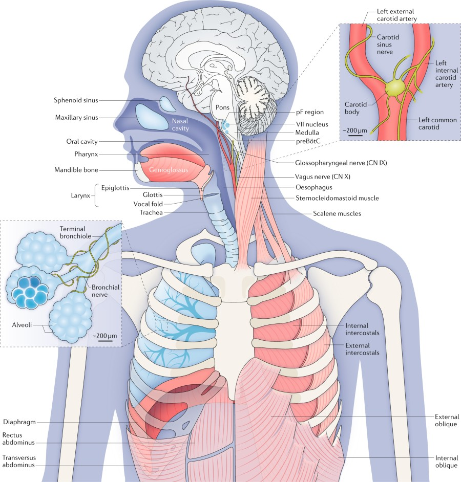 Fig 1 The Anatomy And Physiology Of Respiration Nature Reviews