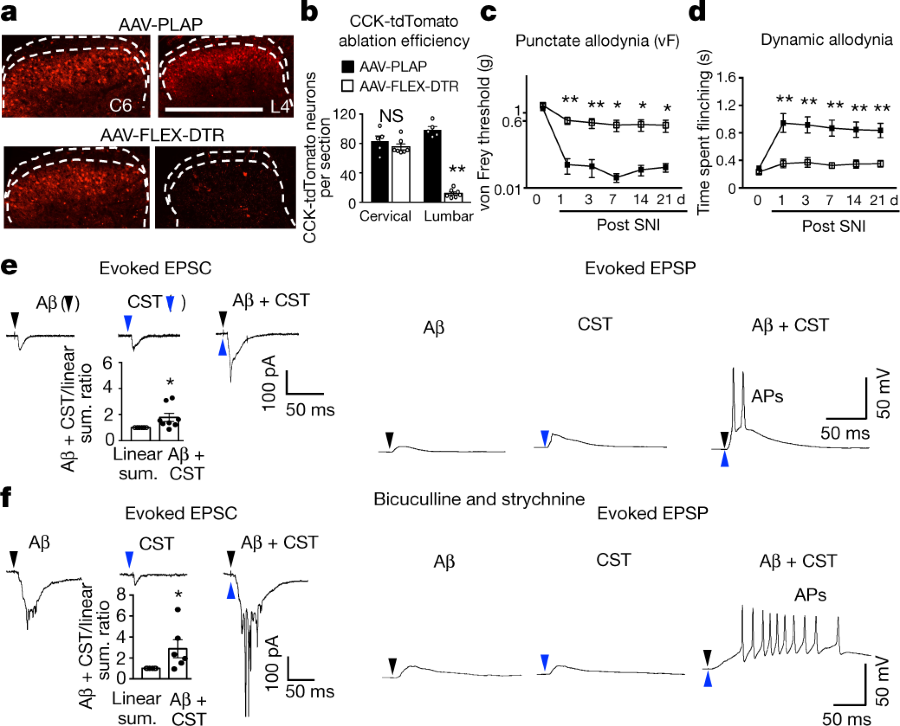 Fig 4 Lumbar Cck Neurons Receive Convergent A Fibre And Cst