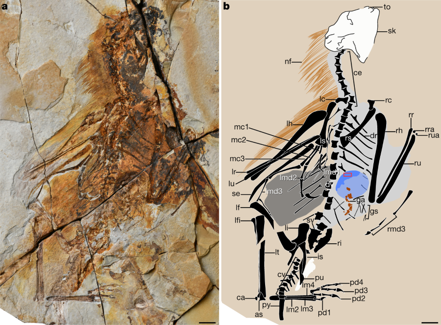 Fig. 1: Holotype of A.longibrachium, IVPP V24192. | Nature