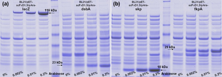 Co-expression of Skp and FkpA chaperones improves cell