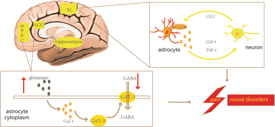 An update on reactive astrocytes in chronic pain | Journal