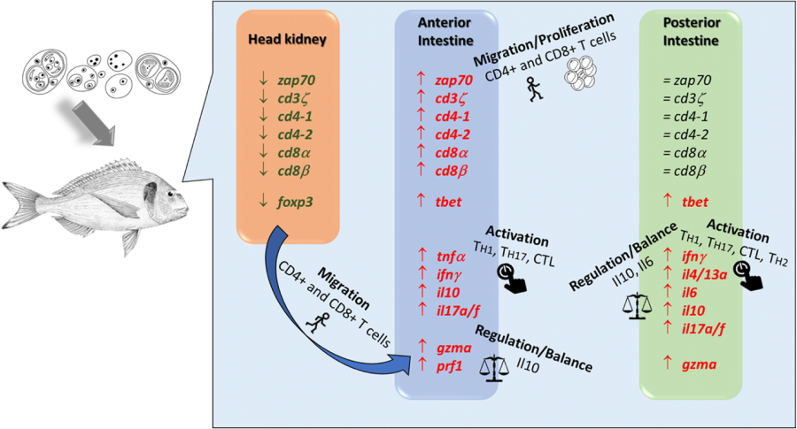 Hints on T cell responses in a fish-parasite model