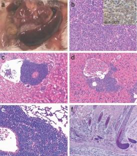 Thymus-derived leukemia-lymphoma in mice transgenic for