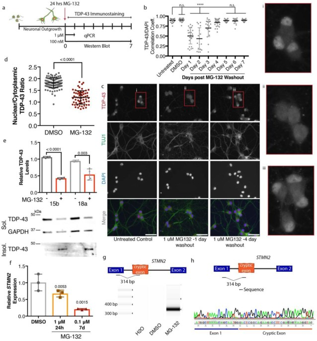 ALS-implicated protein TDP-43 sustains levels of STMN2, a