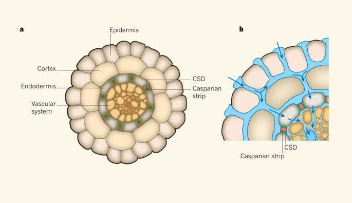 Unveiling the Casparian strip | Nature
