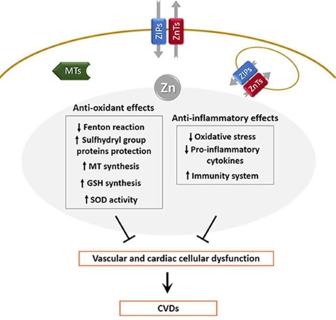 Zinc Deficiency And Cellular Oxidative Stress Prognostic